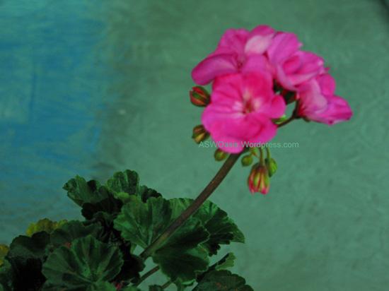 external image geranium3.jpg